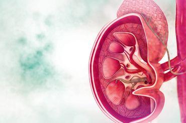 Grafik von einer Niere
