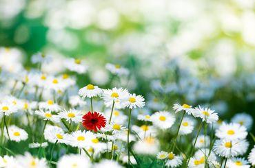 Blumenwiese mit weissen und roten Blumen