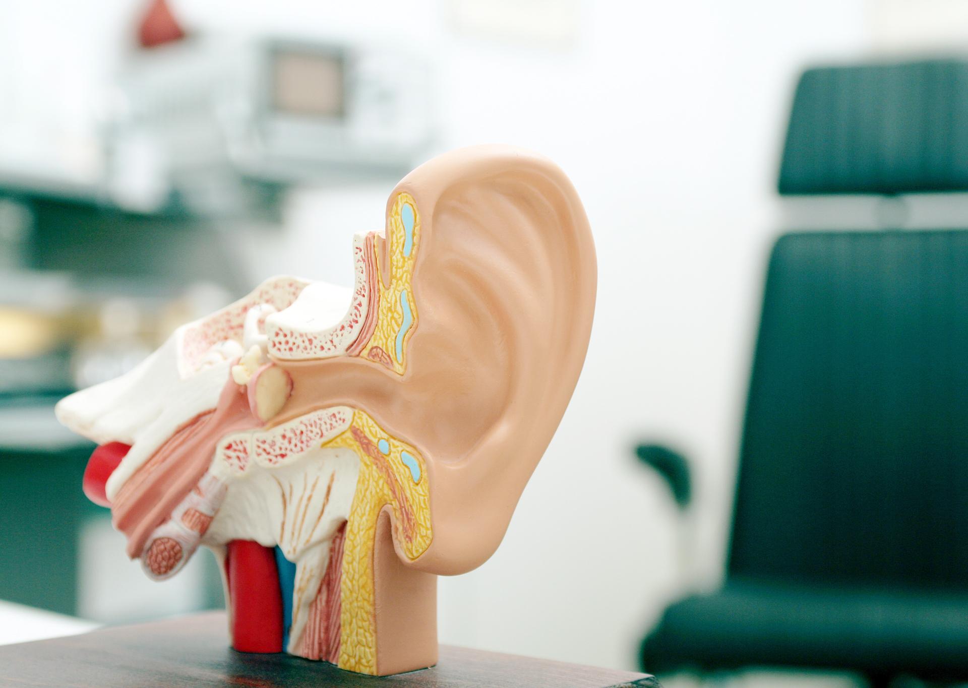 Modell von einem Ohr